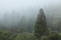 熊本県 スギ植林