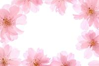 花 サクラ