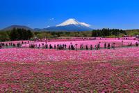 山梨県 富士芝桜まつり 朝の富士山と芝桜の花畑