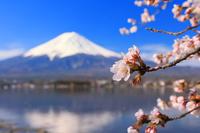 山梨県 河口湖畔の桜と朝の富士山