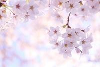 日本 桜咲く春の花