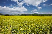 北海道 菜の花と雲