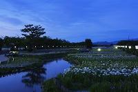新潟県 瓢湖のあやめ園