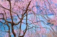 東京都 奥多摩湖の桜