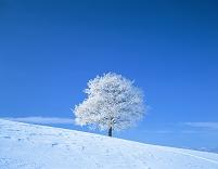 北海道 美瑛町 霧氷 1本の木