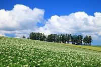 北海道 美瑛町 じゃがいもの花