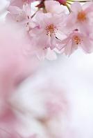大阪府 大阪城公園の満開の枝垂れ桜