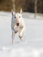 雪地を走るブル・テリア 犬