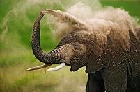 アフリカゾウの砂浴び