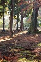 奈良県 紅葉の奈良公園と鹿