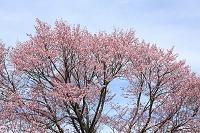 北海道 エゾ山桜の満開