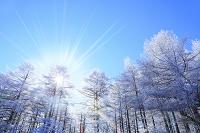 長野県 塩尻市 高ボッチ高原 霧氷のカラマツ林