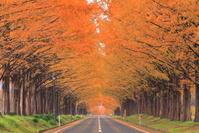 滋賀県 紅葉のメタセコイア並木