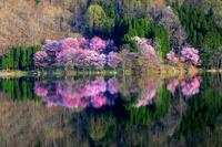 長野県 大町市 中綱湖 湖畔の桜