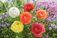 花壇の花 ラナンキュラスとベルフラワー