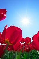 赤いチューリップの花と太陽