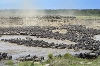 タンザニア マラ川を渡るオグロヌーの群れ