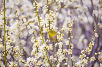 メジロと梅の花 荒山公園