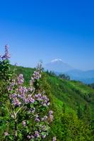 富士山と桐の花
