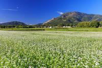 滋賀県 ソバの花と伊吹山