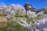 奈良県 サクラと追手向櫓 大和郡山城