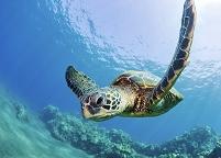 ハワイ マウイ島 アオウミガメ