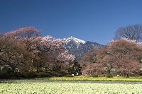 スイセンの花と桜と甲斐駒ケ岳