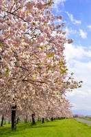 長野県 小布施町 八重桜の並木