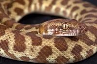 オーストラリア 蛇