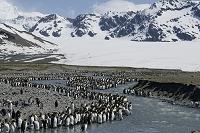 サウスジョージア島 キングペンギン