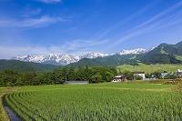 長野県 白馬連山 栂池高原 水田