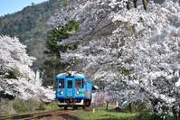 京都府 京都丹後鉄道 満開の桜とKTR800形普通気動車