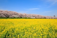 埼玉県 幸手権現堂堤の桜並木と菜の花