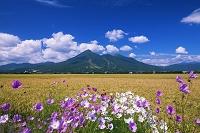 福島県 コスモスと稲田と磐梯山