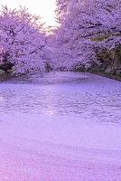 青森県 弘前市 弘前公園 サクラ