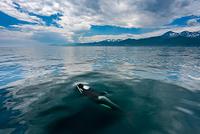北海道 羅臼 シャチ