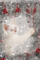 クリスマス飾りの中のブリティッシュショートヘア