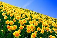 滋賀県 びわ湖バレイに咲くスイセン