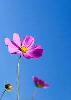 青空を背にした秋桜