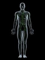 CG ヒトのリンパ系