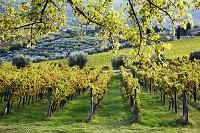 イタリア ブドウ畑とオリーブ畑