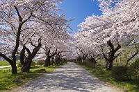 岩手県 桜咲く北上展勝地