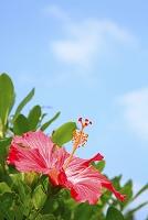 沖縄県 夏のハイビスカスの花
