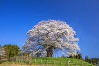 岡山県 醍醐桜 推定樹齢1000年