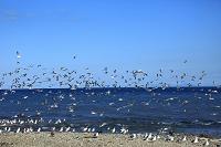 北海道 海岸に群れるカゴメ