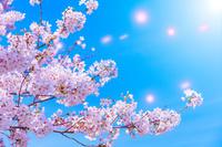 爽やかな桜