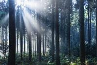 石川県 杉林と光