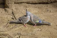 キャンベルタウン野鳥の森 レンジャクバト
