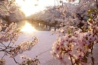 日本 青森県 弘前公園の桜と朝日