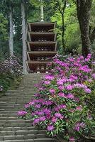 奈良県 シャクナゲ咲く室生寺